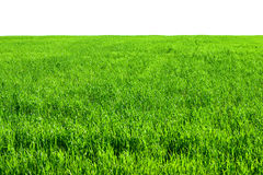 Green grass field in summer isolated Stock Images