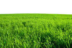 Green grass field in summer isolated Stock Image