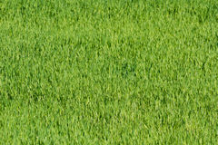 Green grass field. Summer time. Agriculture Stock Image