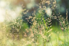Green grass in the field with sunbeams. Stock Images