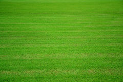Green grass field texture background. Stock Photography