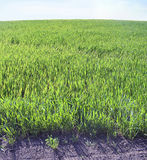 Green grass. Field to the horizon Stock Image