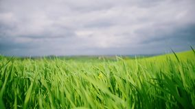 Green grass field under blue sky. Grass swaying in the wind. Static shot stock footage
