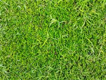 Green grass on the field use for texture background.  Stock Image