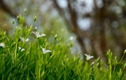 Green Grass Field With White Flowers During Daytime Stock Image