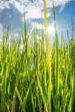 Green grass fild vertical. Green grass field in the afternoon background Royalty Free Stock Images