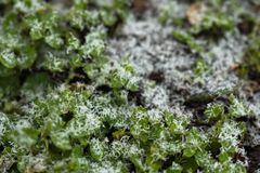 Green grass and the first snow. Close-up. Background Texture royalty free stock image