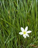 Green grass and flower Royalty Free Stock Image