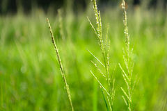Green grass flower and nature background. Stock Photos