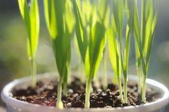 Green grass in flower pot Stock Image