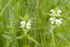 Green grass and flowering nettle. In a summer field or in a meadow royalty free stock image