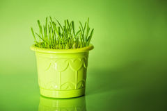 Green grass in flowerpot. On green background stock photography