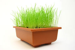 Green grass in flowerpot. Isolated young green grass in flowerpot on white background. Studio stock photo