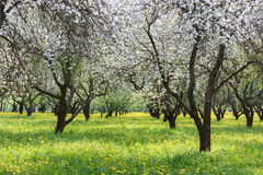 Green grass with flowers and blooming apple trees. springtime la Royalty Free Stock Image