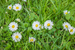 Green grass with flowers. Green grass with field of daisies Royalty Free Stock Photo