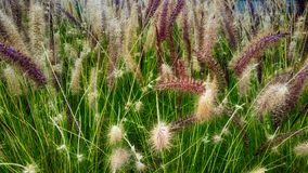 Green grass with flowers and seeds. Where they see colors purple, brown, green, yellow stock image