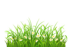 Green grass and flowers. Spring green grass and daisies on white background Royalty Free Stock Photography