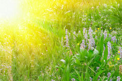 Green grass and flowers in sun rays. At a meadow. Close-up shot Royalty Free Stock Photo