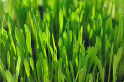 Green grass with focus in the middle. Close-up photography of green grass with shallow depth of field and focus in the middle Royalty Free Stock Image