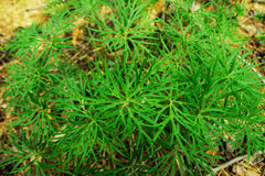 Green grass in the forest closeup, top view. Stock Image