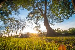 Green grass forground of tree in park while sunset yellow beam l. Ight, Beautiful park stock photo