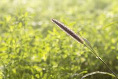 Green Grass, Foxtail Closeup, Space for Text Stock Image