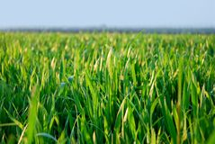 Green grass, fresh grass Royalty Free Stock Photography