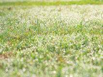 Green grass with fresh morning dew Stock Photography