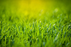 Green grass. Fresh spring green grass at sunrise Royalty Free Stock Images