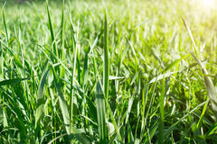 Green grass. Fresh green grass in sunshine Royalty Free Stock Image