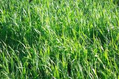 Green grass. Fresh green grass in sunshine Stock Photography