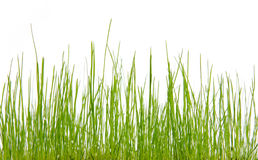 Green grass. Green, fresh grass on a white background Royalty Free Stock Photography