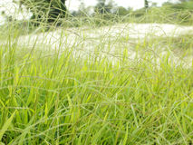 Green grass. Fresh green grass wide background royalty free stock image