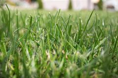 Green Grass texture. Fresh young green lawn grass. Bright absract background royalty free stock photography
