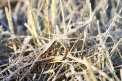 Green grass in the frost Stock Photo
