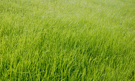 Green grass. The green grass is full of vigor and vitality Royalty Free Stock Photos