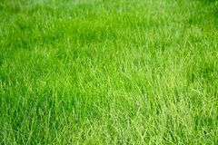 Green grass. In the garden stock image