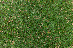 Green grass in the garden Royalty Free Stock Image