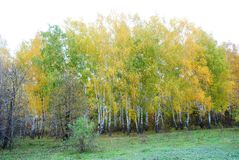 Green grass glade on the edge of the yellow birch forest, cloudy rainy sky. In Ukraine in autumn royalty free stock images