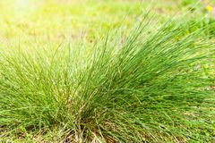 Green grass on a glade in sun beams Royalty Free Stock Photography