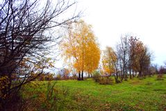 Green grass glade, yellow birch and trees without leaves, cloudy rainy sky. In Ukraine in autumn royalty free stock image