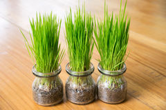 Green grass in glass jar on wood table Stock Image