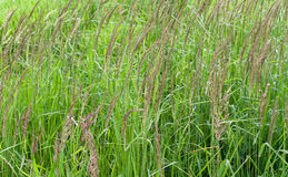 Green grass with grains Royalty Free Stock Images