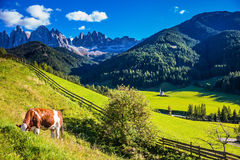 On the green grass grazing cow. On the green grass hillside grazing cow.  Sunny day in Dolomites. Forested mountains surrounded by green Alpine meadows. The Stock Photo