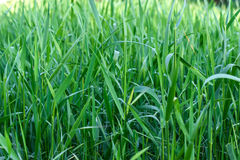 Green grass on green background Stock Photography