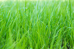 Green grass on green background. Natural green summer grass on green background Stock Image