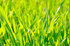 Green grass on green background in the sunlight Royalty Free Stock Photos