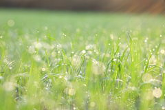 Green grass with green bokeh background Royalty Free Stock Images