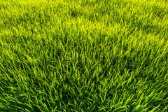 Green grass. Seamless texture. Seamless in only horizontal dimension stock image