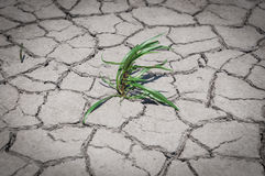 Green grass grew in dry cracked ground Royalty Free Stock Images
